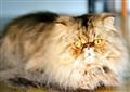 Persian tomcat