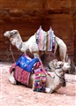 Happy Camels