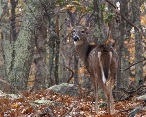 Doe on the Appalachian Trail