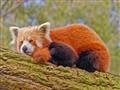 red panda fluffed