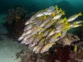 schooling yellowfin snappers