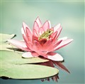 frog in a water lily