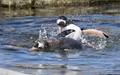 Gentoo Penguin Fight