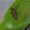 Orthemis aequilibris exuviae male