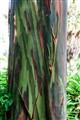 Tree in Waikiki