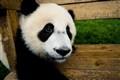 Panda, Wolong