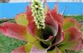 Bahian bromeliad
