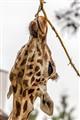 Giraffe_0457