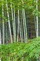 Bamboo Forest Arashiyama Japan
