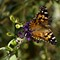Painted Lady_0092