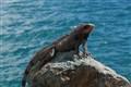 Iguana - Life on the rock