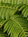 Morning Ferns