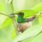 Nesting Humming Bird