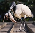 Ibis on a roof with a rat