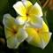 Yellowplumeria