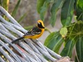 Hooded Oriole, Cabo San Lucas, Mex.