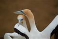 Hugging Gannets