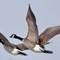 Geese in Flight crop JPEG