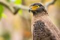Crested serpent eagle (Spilornis cheela)