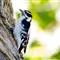 woodpecker_800