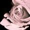 Rose 2tone