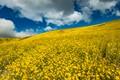 Super Bloom - Carrizo Plain-8513