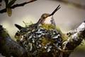 Nesting Roufus