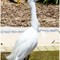 Snow Egret 06