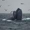 HumpbacksFeeding_071