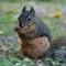 Piper Spit Garden Squirrel-1390084