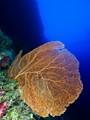 Gorgonian fan