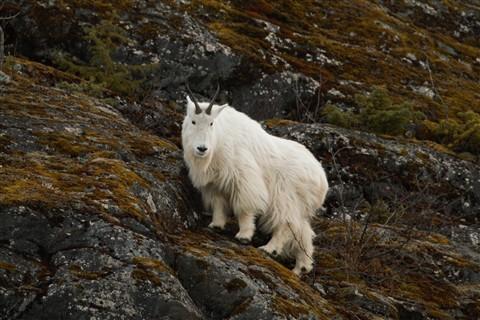 Mendenhall goat