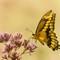 Giant Swallowtail: OLYMPUS DIGITAL CAMERA