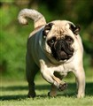 The Pug Breed