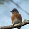 Eastern Bluebird - Female: SAMSUNG CSC