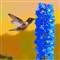 Rufous H'bird@Delphinium
