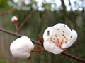 Prunus Blossom and Bud