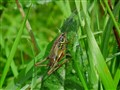 rousels bush cricket