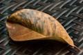 Waxy leaf