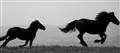 Wild Italian Horses