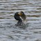 Mmmhhh: Cormorant catch of the day