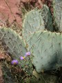 Prickly Pear cactus near Sedona, AZ