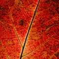 macro of autumn leaf