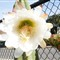 catus flower white1