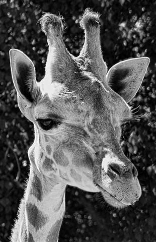 GiraffeUpClose002a
