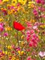 Single poppy in a wild flower meadow