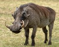 Boss Warthog