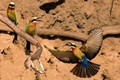 bee-eaters family affairs