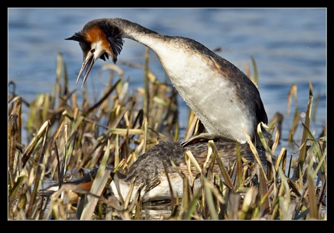 Grebe-Mating
