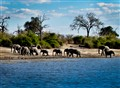 Eleven Elephants on the Chobe